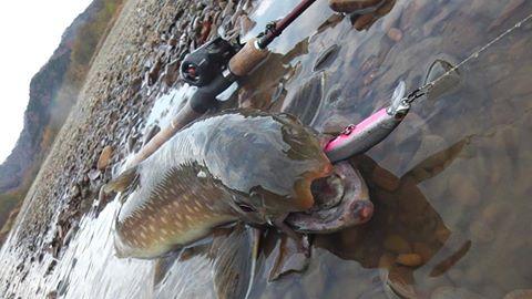 低水温でも釣れてくれるトラウトといえばアメマス