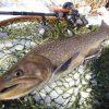 なんと59センチの大岩魚を釣り上げてしまいました
