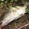 この魚は中国三大怪魚の一つチャイニーズパーチ