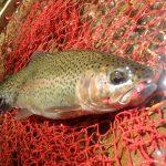 何も問題がなければ、どこの川でもどんなポイントでも虹鱒のヒットパターンは一緒
