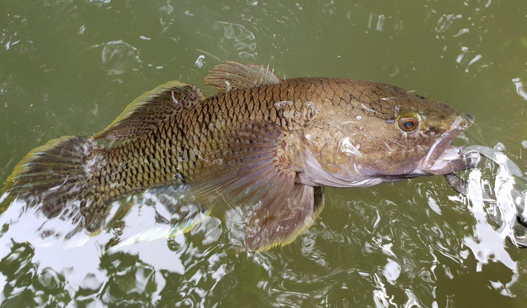 ソロモン諸島の淡水魚