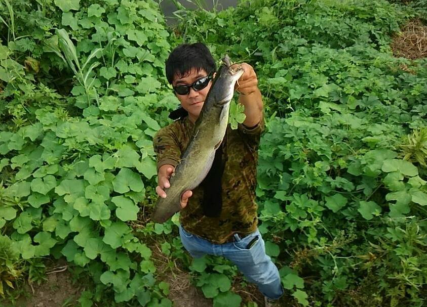 ナマズ 鯰